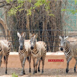 Newly acquired four zebras at Mysore Zoo