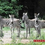 Mysore zoo received four zebras from Israel. The two male zebras were named Dazzle and Sudheer while the females were christened Dawn and Riddhi.