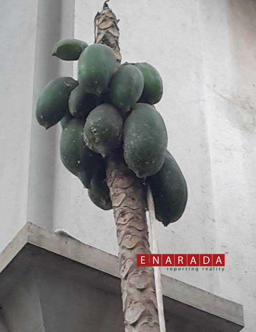 Bald papaya tree in Malleshwaram. Photo: www.enarada.com