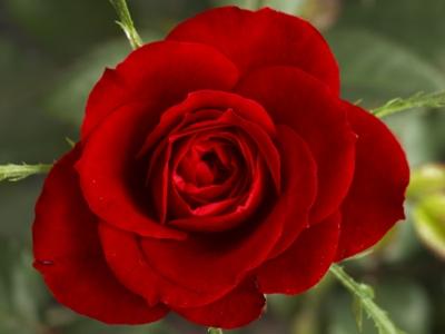 rose.......