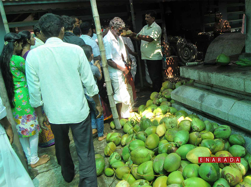 Devotees offer tendercoconuts amd pray for early rains. Photo by